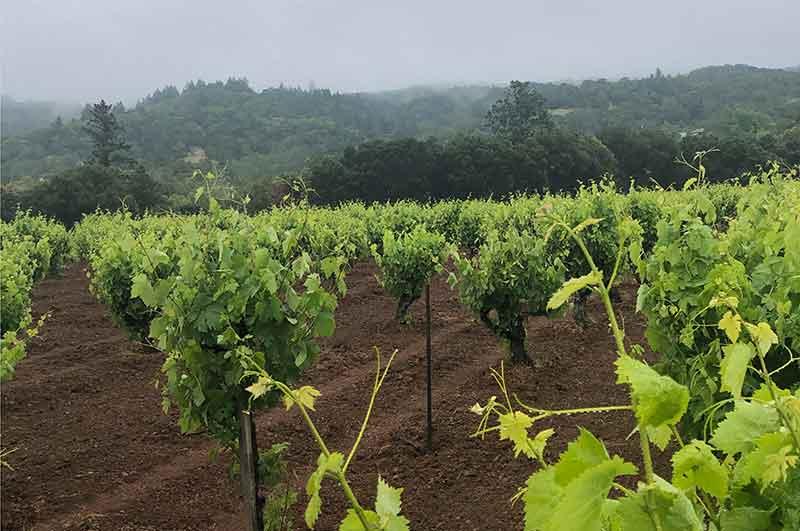 Forchini Vineyard